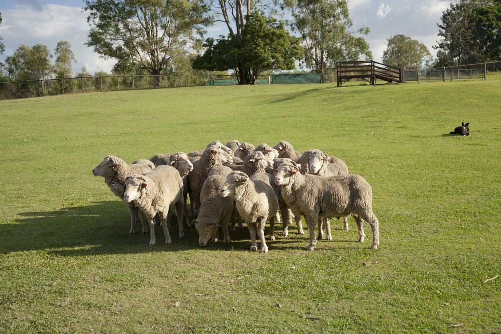 sheep on a farm with fencing australia